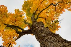 Look up into the canopy of yellow leaves during the Autumn royalty free stock photography