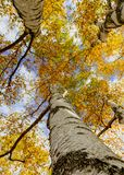 Look up into the canopy of yellow leaves during the Autumn royalty free stock images