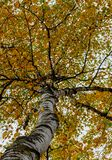 Look up into the canopy of yellow leaves during the Autumn stock images
