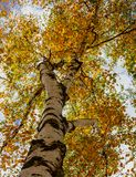 Look up into the canopy of yellow leaves during the Autumn stock photography