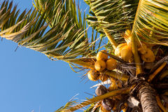 Look up for Coconuts Stock Image