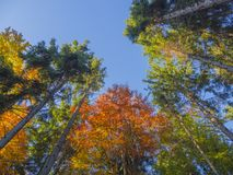 Look up at colorful autumn color tall trees crowns and blue sky Stock Photos