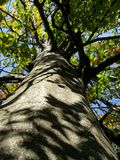 Look up the crown of beech Royalty Free Stock Images