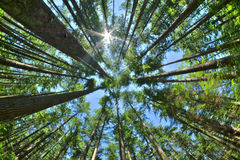 Look up in a dense pine forest Stock Photography