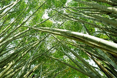 Look up at green flourish bamboo forest Stock Image
