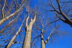 Look up image of trees in Autumn and blue sky Royalty Free Stock Photography