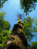 Look up, look way up. Moss covered tree reaching for the sky stock photo