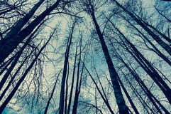 Look Up. Looking up at the bare trees Stock Photos