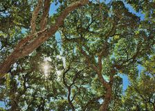 Look-Up. Looking up through the live oak trees with sun Stock Image
