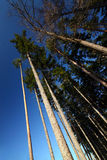 Look up in pine forest. Trees and blue sky - look up Royalty Free Stock Images
