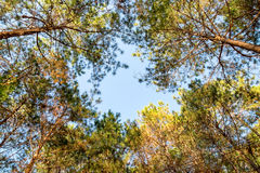 Look up pine forest high Royalty Free Stock Photo