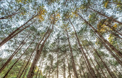 Look up pine forest shady Royalty Free Stock Photo