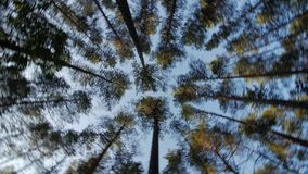 Look up to the blue sky in green woods through the tall trees, rotating and dreaming stock footage