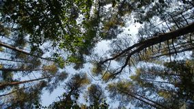 Look up to the blue sky in green woods through the tall trees, rotating and dreaming. Look up to the blue sky in green woods through the tall pine trees stock footage