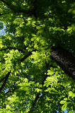 Look up to canopy of chestnut tree. Look up to the canopy of chestnut tree Royalty Free Stock Images