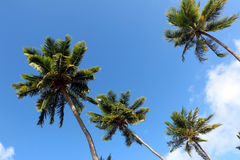 Look up to palm threes. Four palm threes looked from down with blue sky as background and white cloud Royalty Free Stock Image