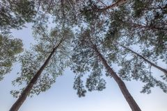 Look up to pine forest shady in sky Royalty Free Stock Photos