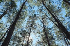 Look up to pine tree at Pang Ung stock images
