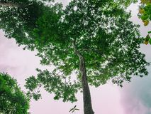 Free Look Up To The Giant Tree In The Way To The Top Of Khao Luang Mountain In Ramkhamhaeng National Park Stock Photos - 132901963