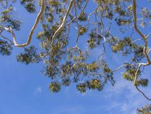 Look up to a tree with blue sky Royalty Free Stock Images