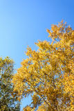 Look up to White Birch Stock Images