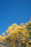 look up to White Birch in the autumn stock photos