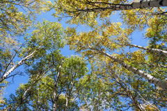 look up to White Birch Royalty Free Stock Photography