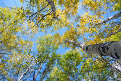 Look up to White Birch Stock Photos