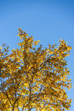 Look up to White Birch Royalty Free Stock Image