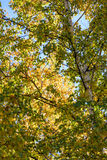 Look up to White Birch Royalty Free Stock Images