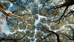 Look up at the tree crowns. Crowns of trees with bright afternoon sun and rays stock footage