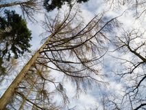 Look up into the tree crowns in winter Royalty Free Stock Photography