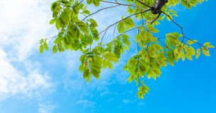 Look up view, Green tree against nice sky Royalty Free Stock Image