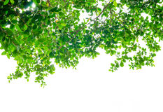 Look up view, Green tree ,isolated on white background Royalty Free Stock Image