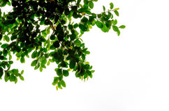Look up view, Green tree ,isolated on white background Stock Photo