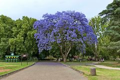 Look of walk with jacaranda tree blossom Royalty Free Stock Photography
