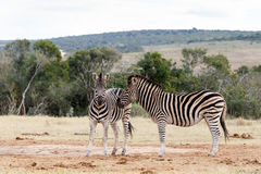 Look That Way -  Burchell's Zebra Stock Photo