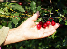 Look what cherries. Female hand harvested ripe cherries from the tree Stock Photography