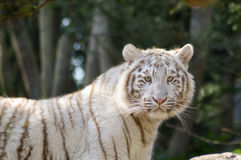 Look of a white Tiger in an animal. Park of France Royalty Free Stock Photos