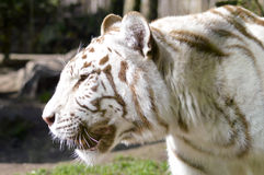 Look of a white Tiger. In an animal park of France Stock Image