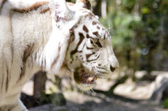 Look of a white Tiger in an animal park of France. Look of a white Tiger in an animal Stock Images