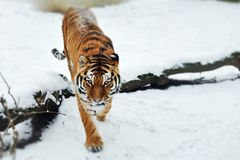 The look of a young Amur tiger in the snow. A hungry Siberian tiger looks in search of prey walking in a snowy forest royalty free stock image
