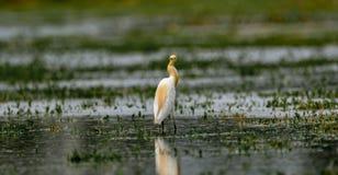 Lookback:牛背鹭/Bubulcus朱鹭在养殖全身羽毛 库存照片