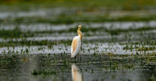 Lookback: Egret скотин/Bubulcus ibis в разводить оперение стоковые фото