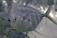 lookdown övre för tät fisk Arkivfoton