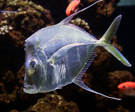 Lookdown fish 3 Royalty Free Stock Photography
