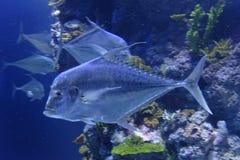 Fish in reef tank royalty free stock image