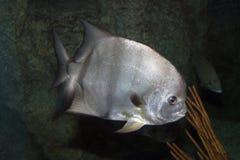 lookdown fisk Fotografering för Bildbyråer