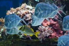 Lookdown fisk i akvarium i Haus der Natur, Salzburg Royaltyfri Bild