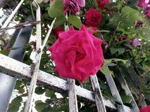` Lookin вверх от земли к красивой раскрытой розе пинка! Стоковое Изображение RF